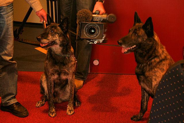 Hollandse herders Frikke en Dingo