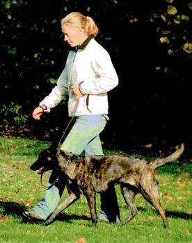 Holländische Schäferhund Ivil BH